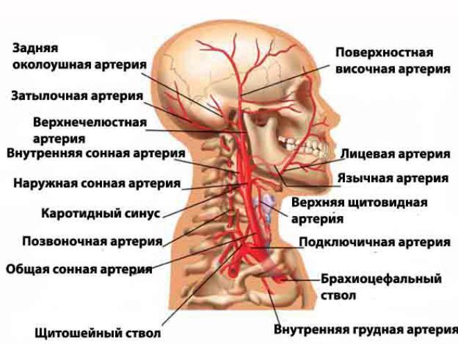 Кровеносная система головы и шеи