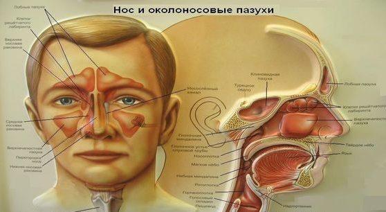 Полость носа и околоносовые пазухи – орган мишень при хроническом риносинусите