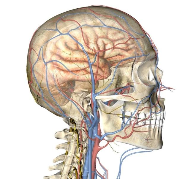 Артерии и вены шеи