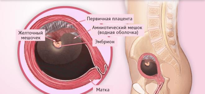 Развитие плода на 4 неделе беременности