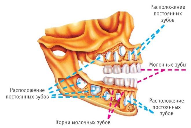 Отличие молочных и коренных зубов