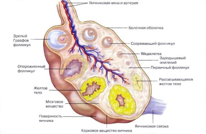 Образование желтого тела в яичнике