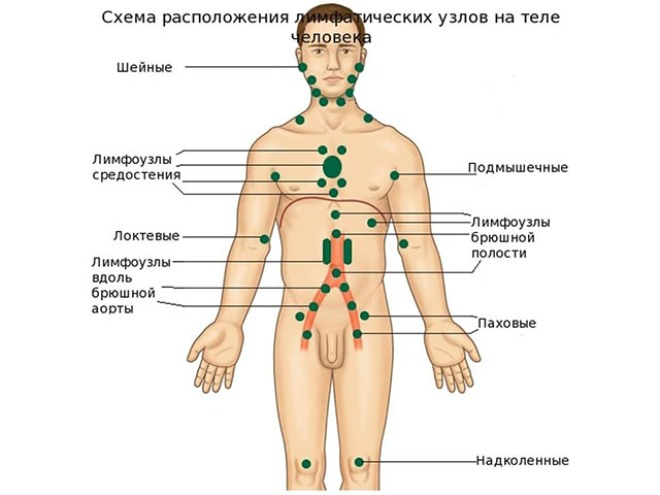 Схема расположения лимфоузлов на теле человека