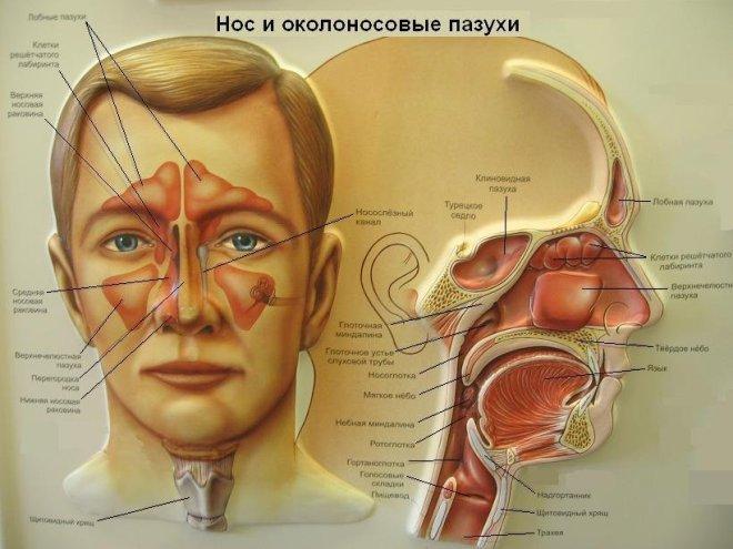 Строение носа и носовых пазух