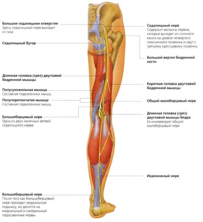 Нервы нижних конечностей