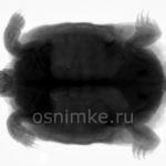 Рентгеновский снимок — черепаха