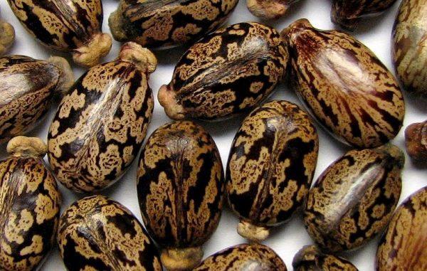 Семена клещевины защищает очень плотная оболочка