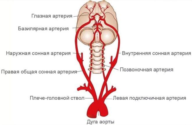 Расположение брахиоцефальных артерий
