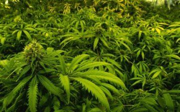 Cannabis Sativa (конопля посевная) в гомеопатии